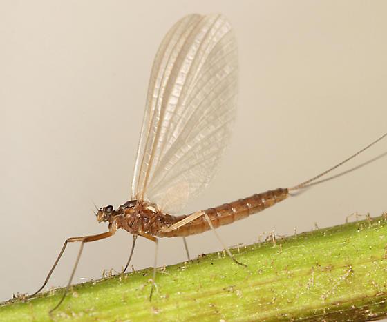 Mayfly - Paraleptophlebia - female