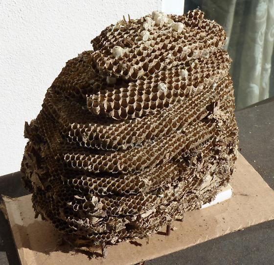 Large Vespula Maculifrons nest - Vespula maculifrons