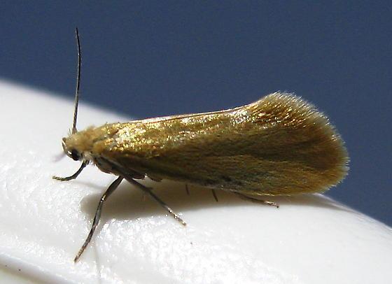 Prodoxidae - Yucca Moths - Lampronia