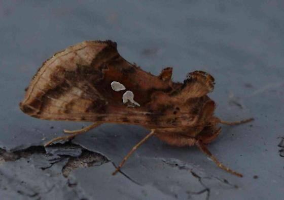 Two-Spotted Looper Moth - Autographa bimaculata