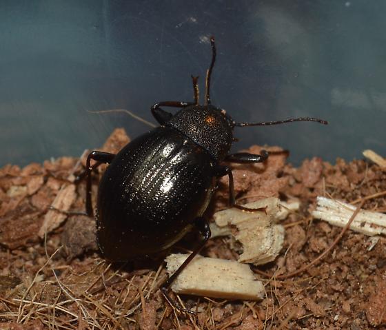 M.contracta Larvae-Adults - Meracantha contracta