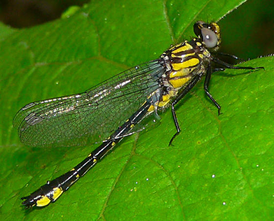 Spine-crowned Clubtail - Hylogomphus abbreviatus - male