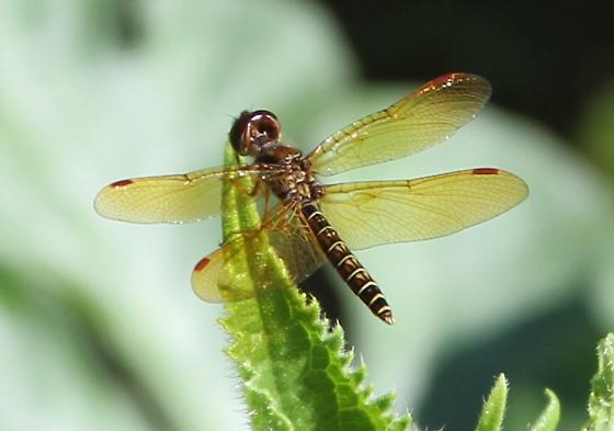 Skimmer - Perithemis tenera - male