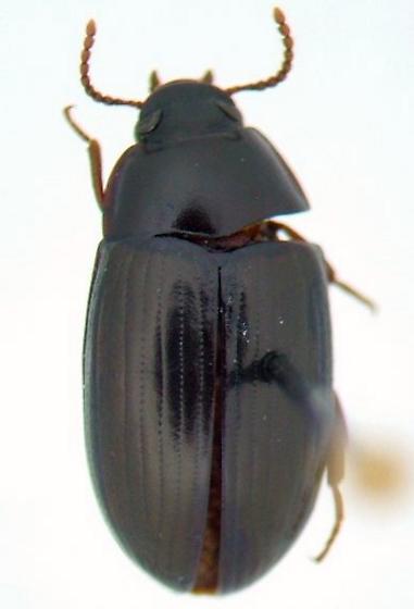 Platydema laevipes