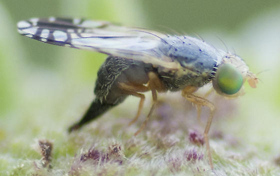 Unknown Fly - Trupanea wheeleri - female
