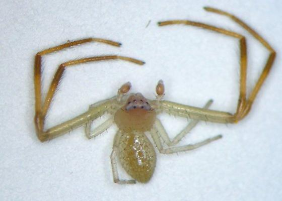 KY spider 17 - Misumessus oblongus - male