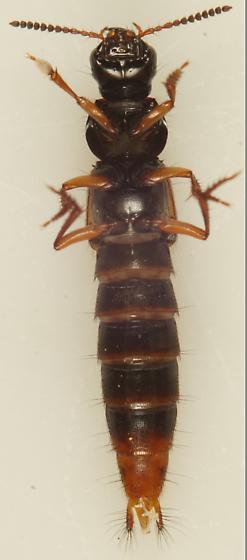 Unknown Rove beetle - Quedius cruentus