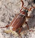 Variegated June Bug? - Polyphylla hammondi - male