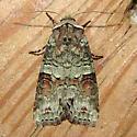 Moth - Egira alternans