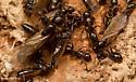 Camponotus nearcticus - female