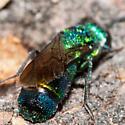 Green Bug - Chrysis nitidula-complex