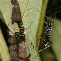 Treehopper nymphs, adults and an attending ant - Publilia concava