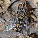 Tachinid Fly ??