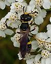 Philanthus sp. - Philanthus gibbosus