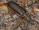 Blister Beetle with red legs - Lytta aenea