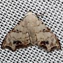 moth - Araeopteron vilhelmina