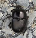 Beetle sp.? - Geotrupes