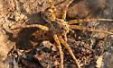 Uknown spider--Fishing Spider or Wolf Spider - Tigrosa aspersa - male