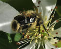 beetle mimicking bee - Trichiotinus assimilis