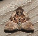 Noctuidae,  Multicolored Sedgeminer - Meropleon diversicolor