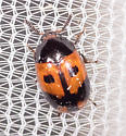 Small Orange and Black Beetle - Diaperis maculata
