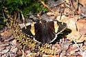 Golden-banded Skipper (Autochton cellus) - Autochton cellus