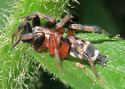 Sergiolus capulatus - male