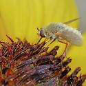 Bombyliidae - Systoechus vulgaris