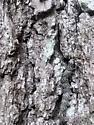Underwing species - Catocala