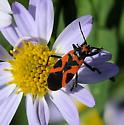 False Milkweed bug - Lygaeus turcicus