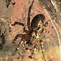 Spider at porch light  - Barronopsis texana
