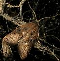 Micro moth id request - Platynota