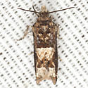 Hebrew Sonia - Hodges #3218.1 - Crocidosema