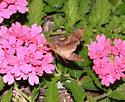 Unknown Sphinx Moth 2 - Enyo lugubris