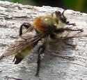 Robber Fly Identification - Laphria insignis - male