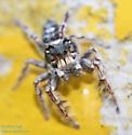 Jumping spider (Phidippus genus?) - Phidippus putnami