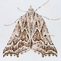 6922  - Plataea personaria - female