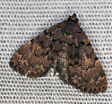 brown moth - Idia aemula