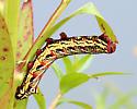 Colorful, blunt-horned Caterpillar - Eumorpha fasciatus