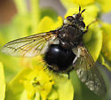 Unknown Tachinid fly