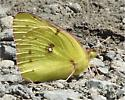What Species is this? (Binomial name please) - Colias philodice