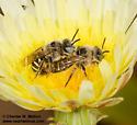 Bee pair mating - Calliopsis puellae - male - female