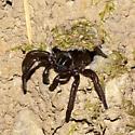Trapdoor/Cyrtaucheniid outed - Promyrmekiaphila clathrata