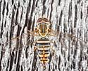 Syrphid Fly - Toxomerus politus - female
