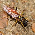 Waspish fly - Xylomya