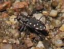 Cicindelidae Arizona 2 - Cicindelidia sedecimpunctata
