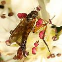Dance Fly - Genus Rhamphomyia? - Rhamphomyia