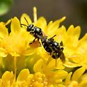 Perdita pair on Oligoneuron rigidum - Perdita octomaculata - male - female