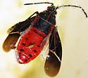 unidentified moth - Boisea rubrolineata