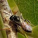 Bee - Lasioglossum